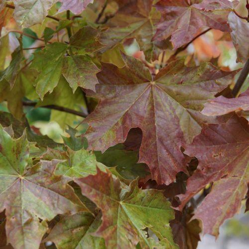 Deborah Maple spring close up