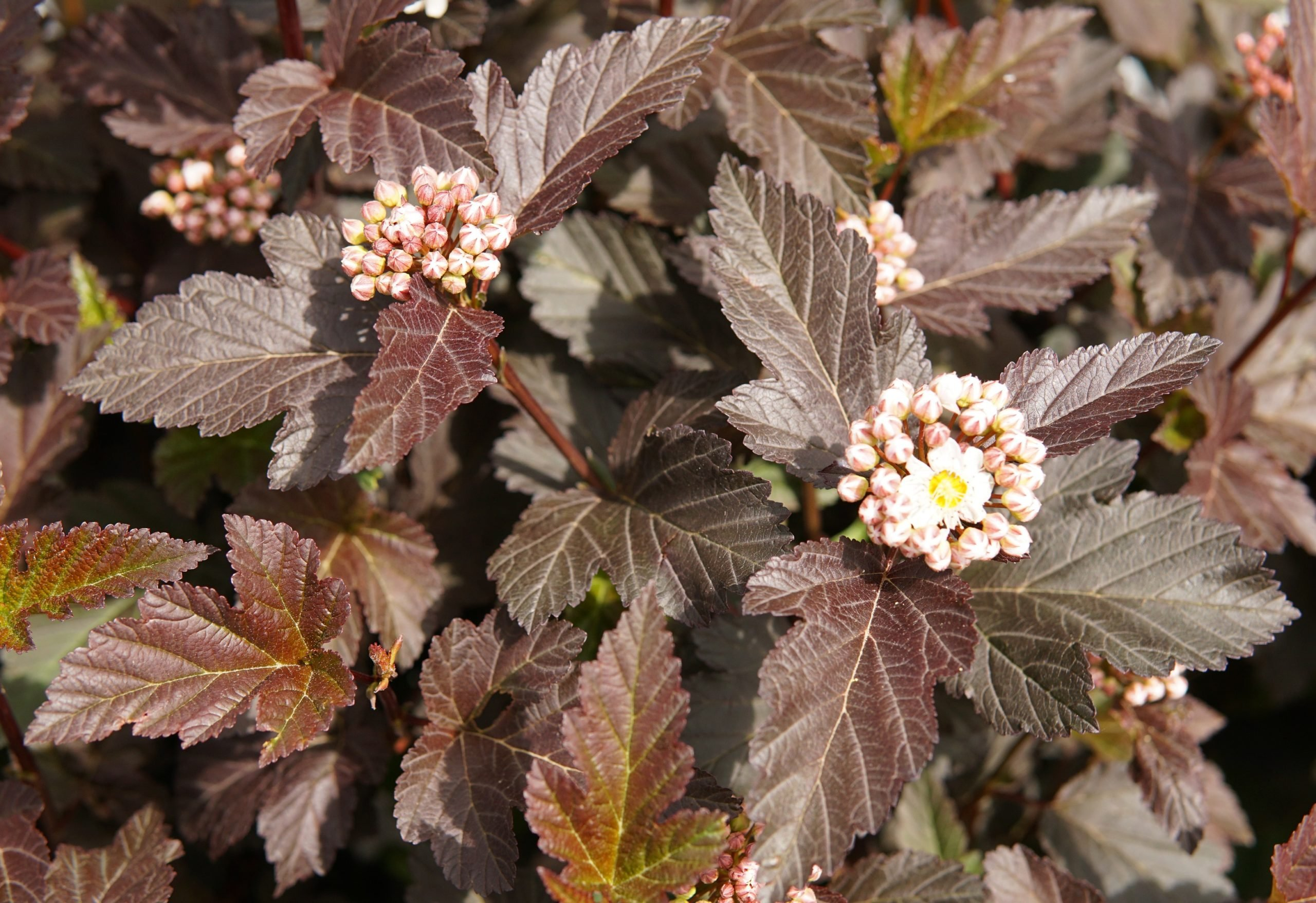 Diabolo Ninebark bloom