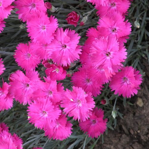 Neon Star Dianthus Flower Close Up