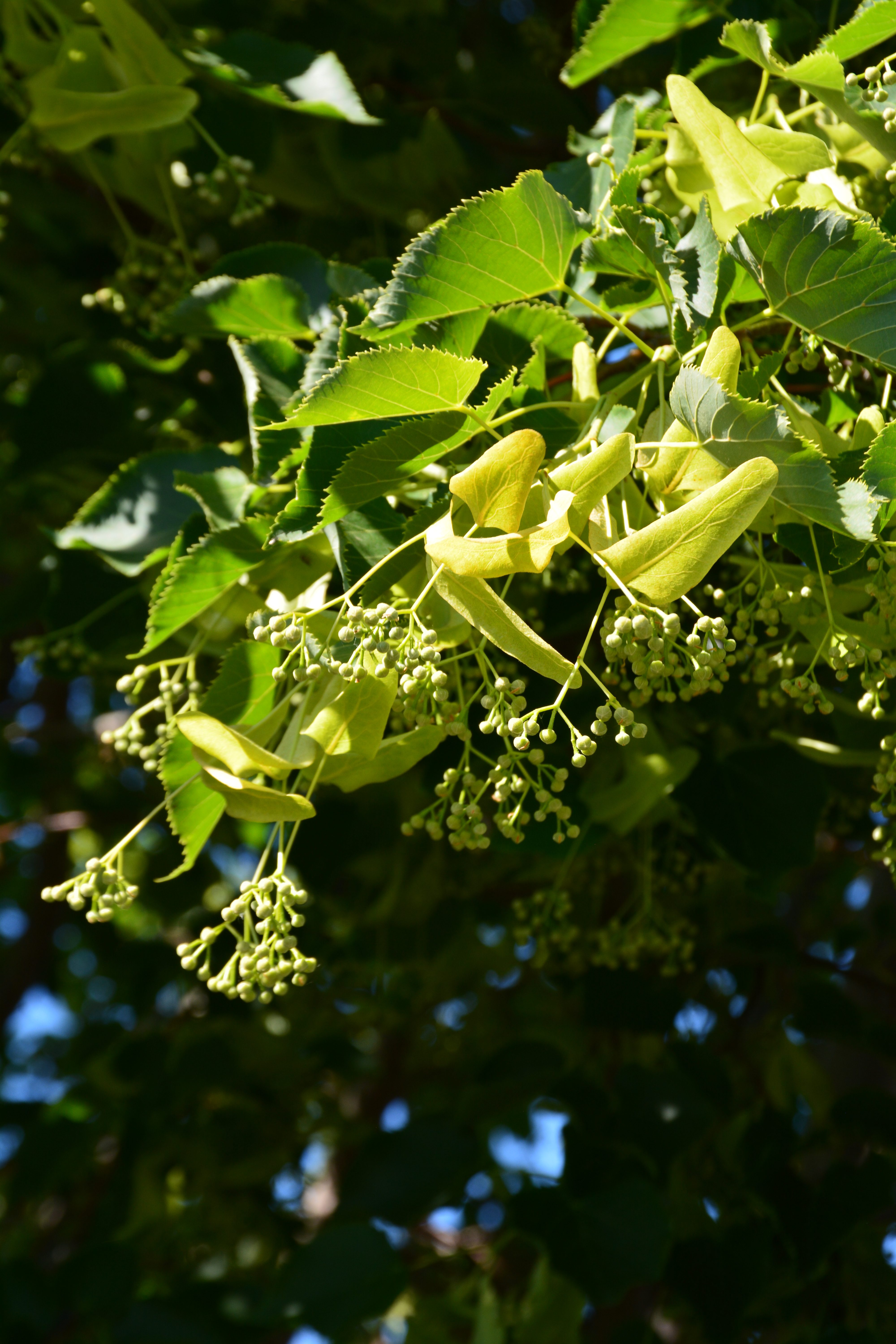 Dropmore Linden Flower Close Up