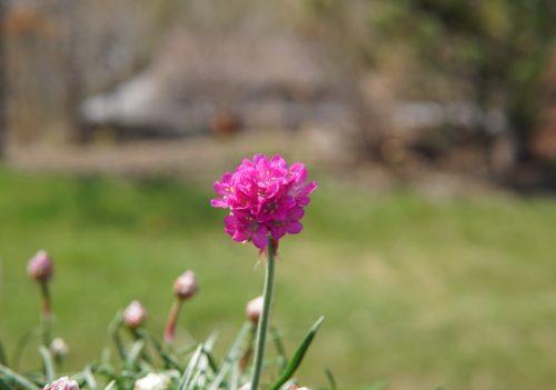 Dusseldorf Pride Seathrift Flower Close Up