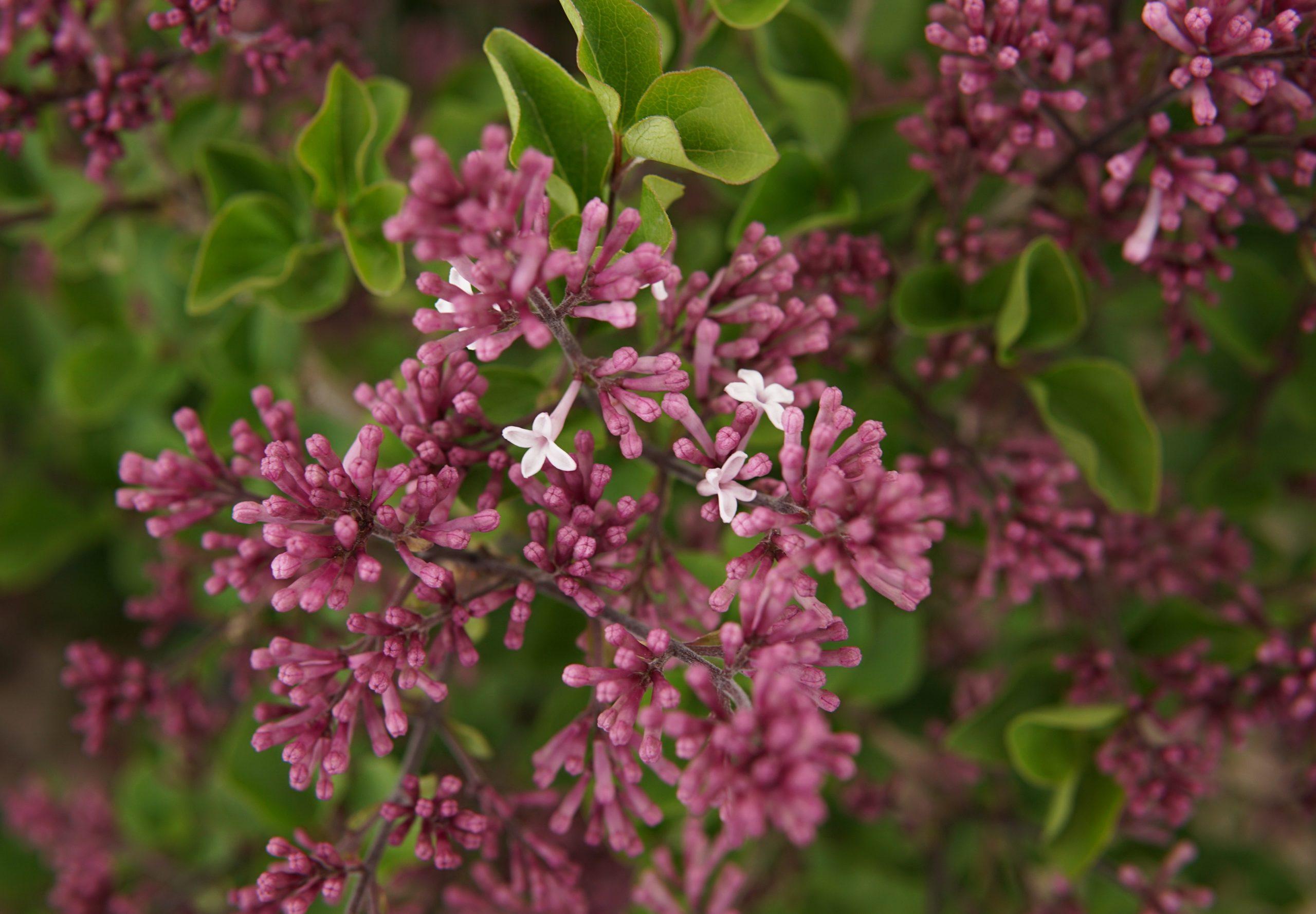 Dwarf Korean Lilac • Kiwi Nurseries Ltd