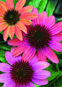 Cheyenne Spirit Coneflower Flower Close Up