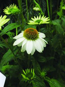 PowWow White Coneflower Flower Close Up
