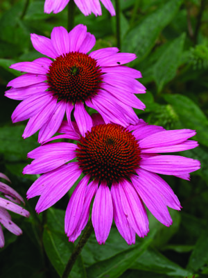 Ruby Star Coneflower Flower Close Up