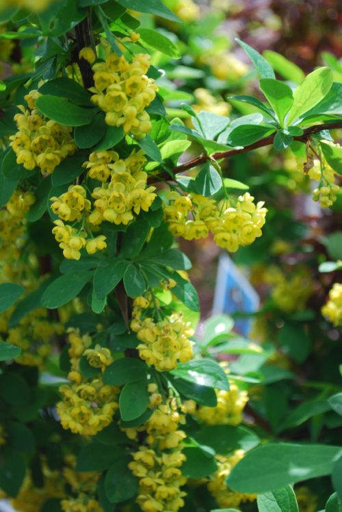 Emerald Carousel Barberry in Flower