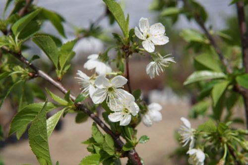 Evans Sour Cherry Flower Close Up