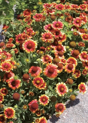 Arizona Sun Blanket Flower in Flower