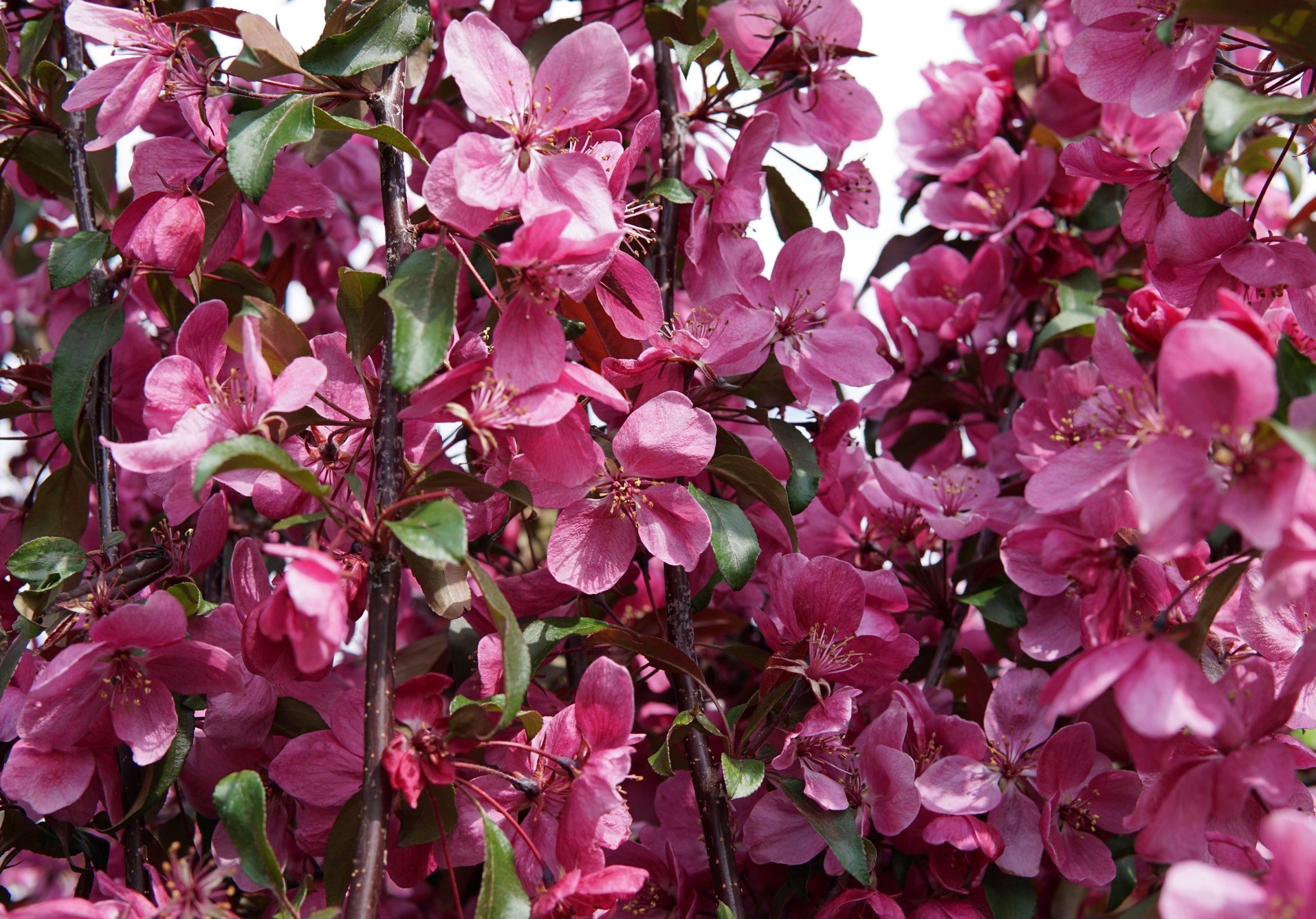 Gladiator Rosybloom Crabapple Flower Close Up