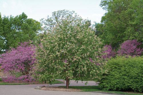 Goldrush Amur Cherry Full Tree