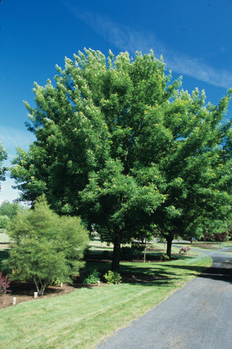 Green Ash Full Tree