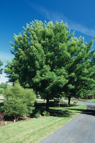 Green Ash Full Tree
