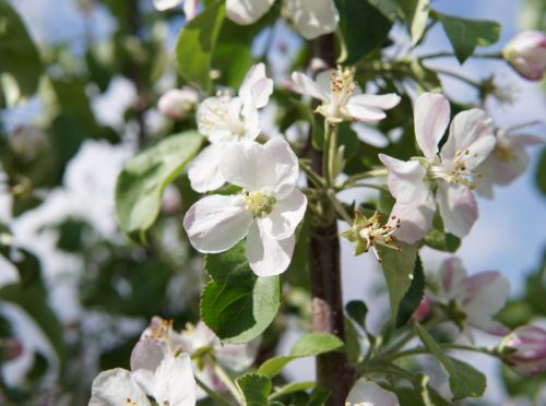 Hardi-Mac Apple Flower Close Up