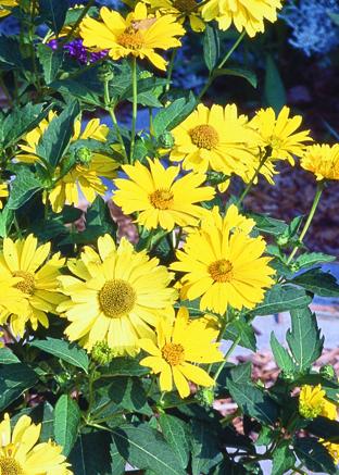 Summer Sun False Sunflower Flower Close Up