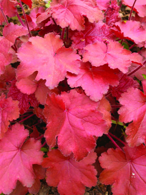 Autumn Glow Coral Bells Foliage Close Up