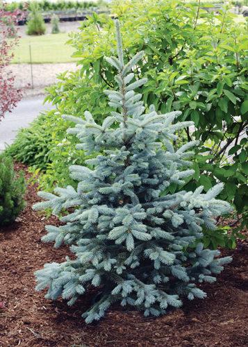 Hoopsi Spruce Full Tree