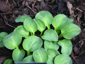 Blue Mouse Ears Hosta Foliage Close Up