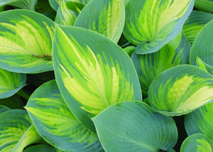 June Hosta Foliage Close Up