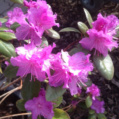 P.J.M. Rhododendron Flower Close Up