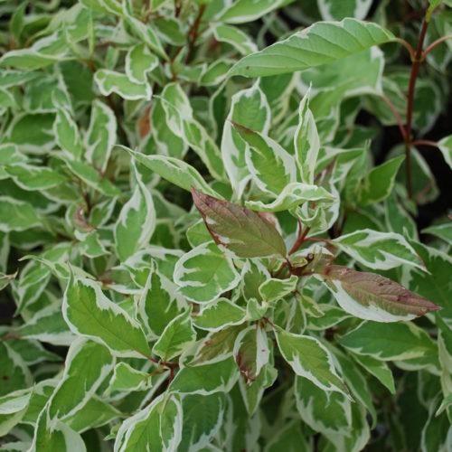 Ivory Halo Dogwood Foliage Close Up