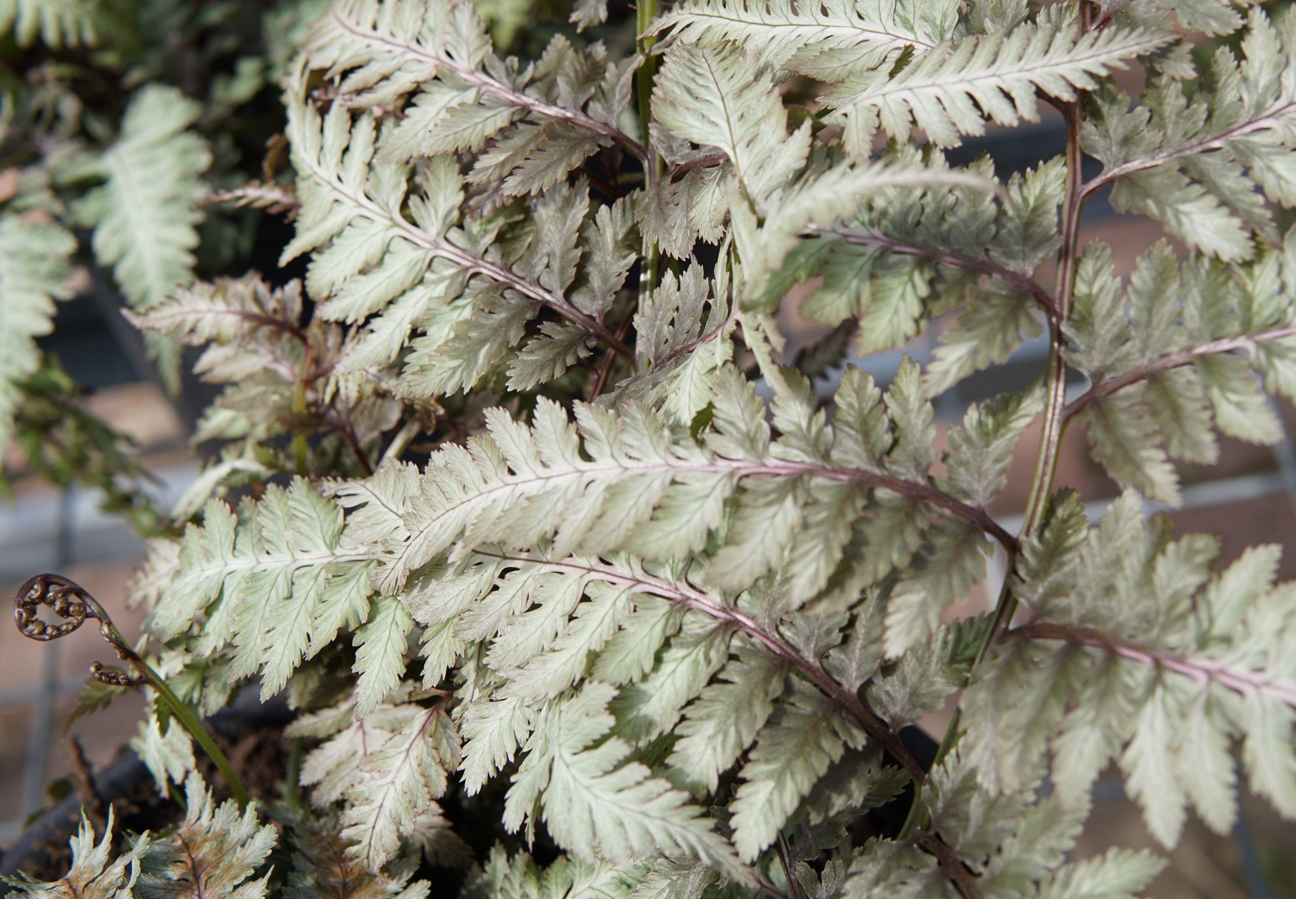 Japanese painted fern close up