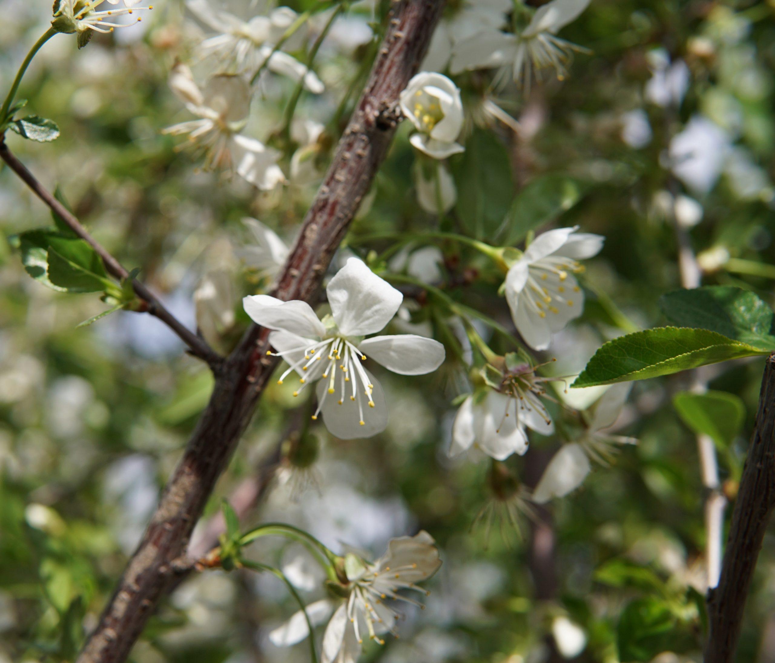 Juliet Cherry Flower Close Up