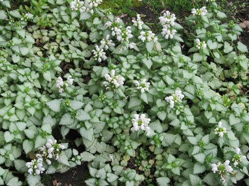White Nancy Lamium in Flower