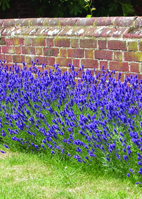 Munstead Lavender in Flower