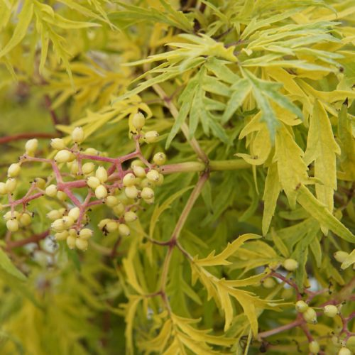 Lemony Lace Elder Fruit Close Up