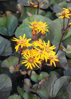 Britt-Marie Crawford Ligularia Flower Close Up