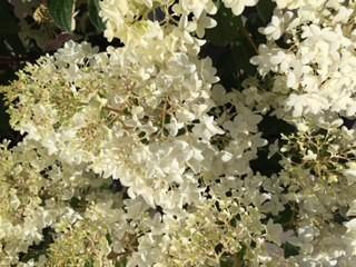 Little Lamb Hydrangea Flower Close Up