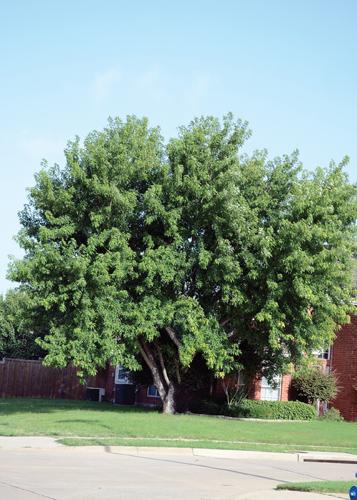 Manitoba Maple Full Tree