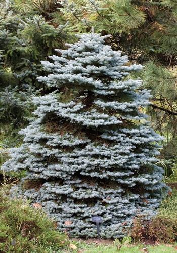 Montgomery Spruce Full Tree