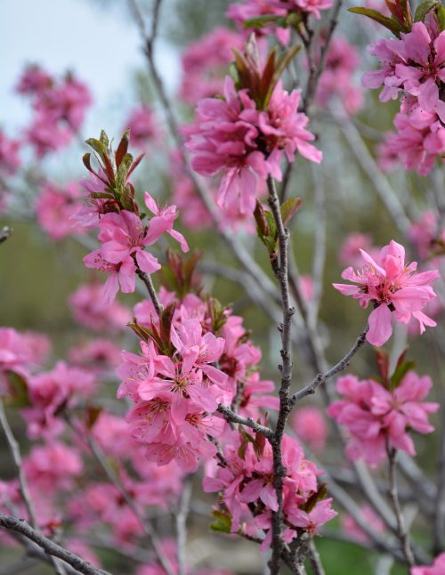 Muckle Plum Flower Close Up