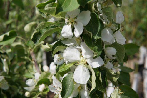 Norkent Apple Flower Close Up