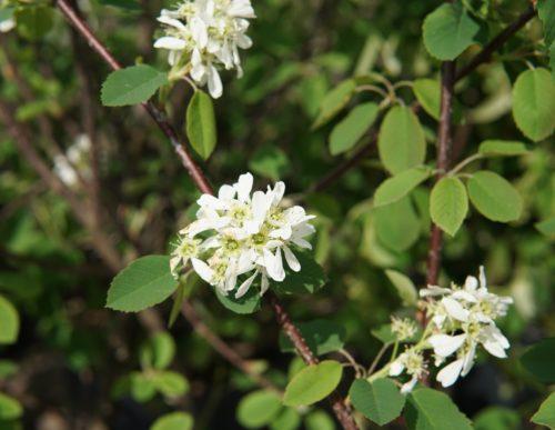 Northline saskatoon flowers