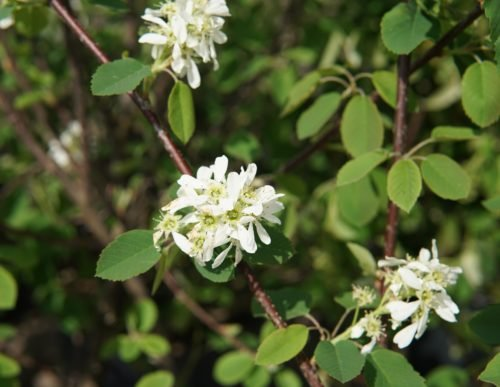 Northline Saskatoon Flower Close Up