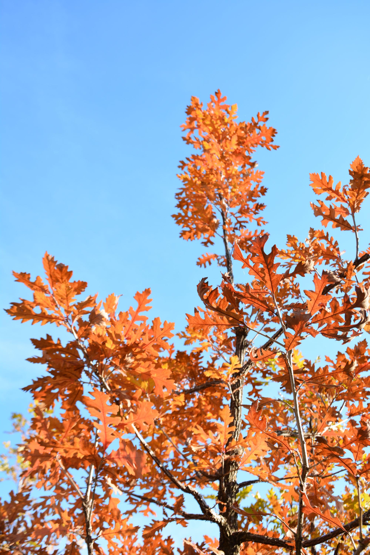 Bur Oak Fall Colours