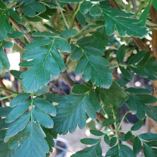 Oak Leaf Mountain Ash Foliage Close Up