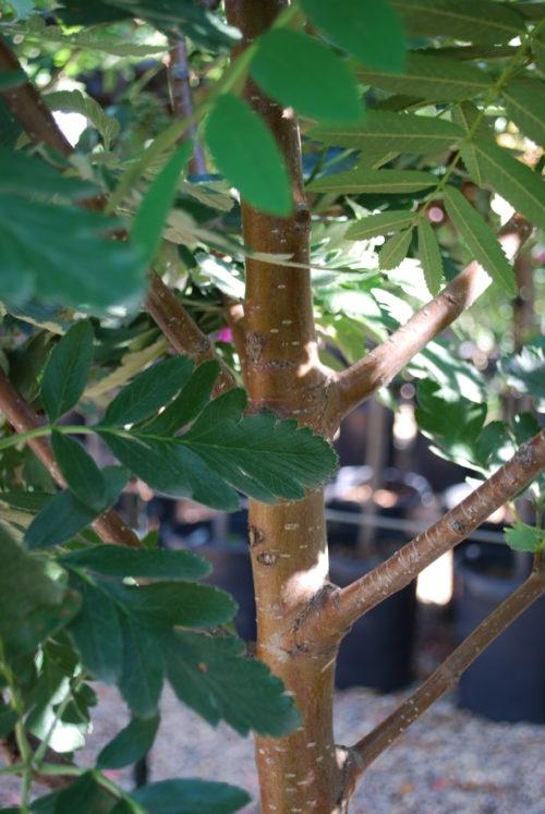Oak Leaf Mountain Ash Bark Close Up