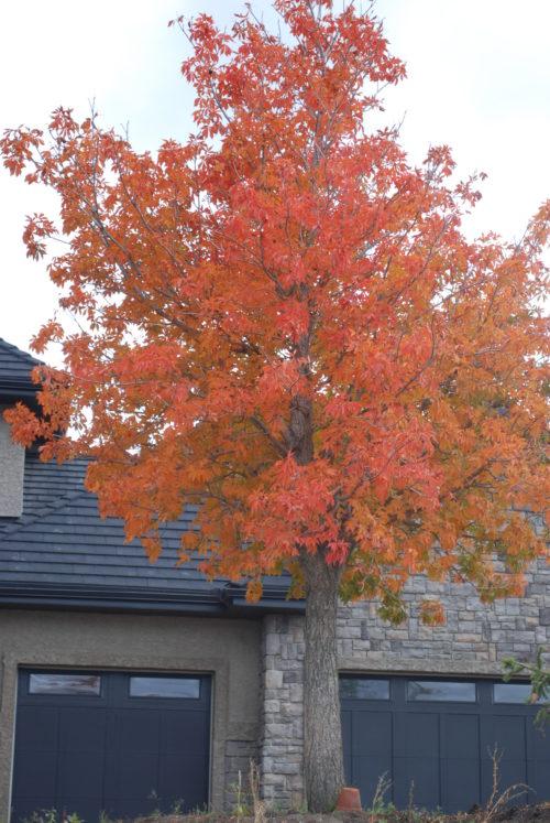Ohio Buckeye Fall Colours