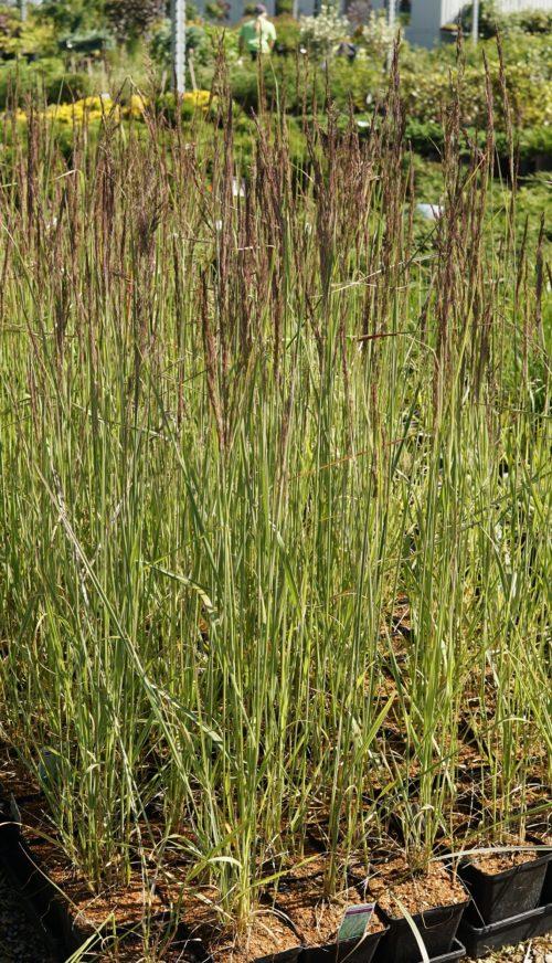 Overdam grass