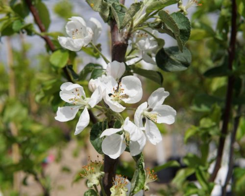 Parkland Apple Bloom Flower Close Up