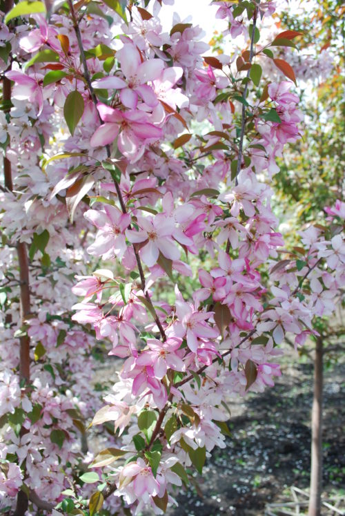 Pink Spires Crabapple in Flower