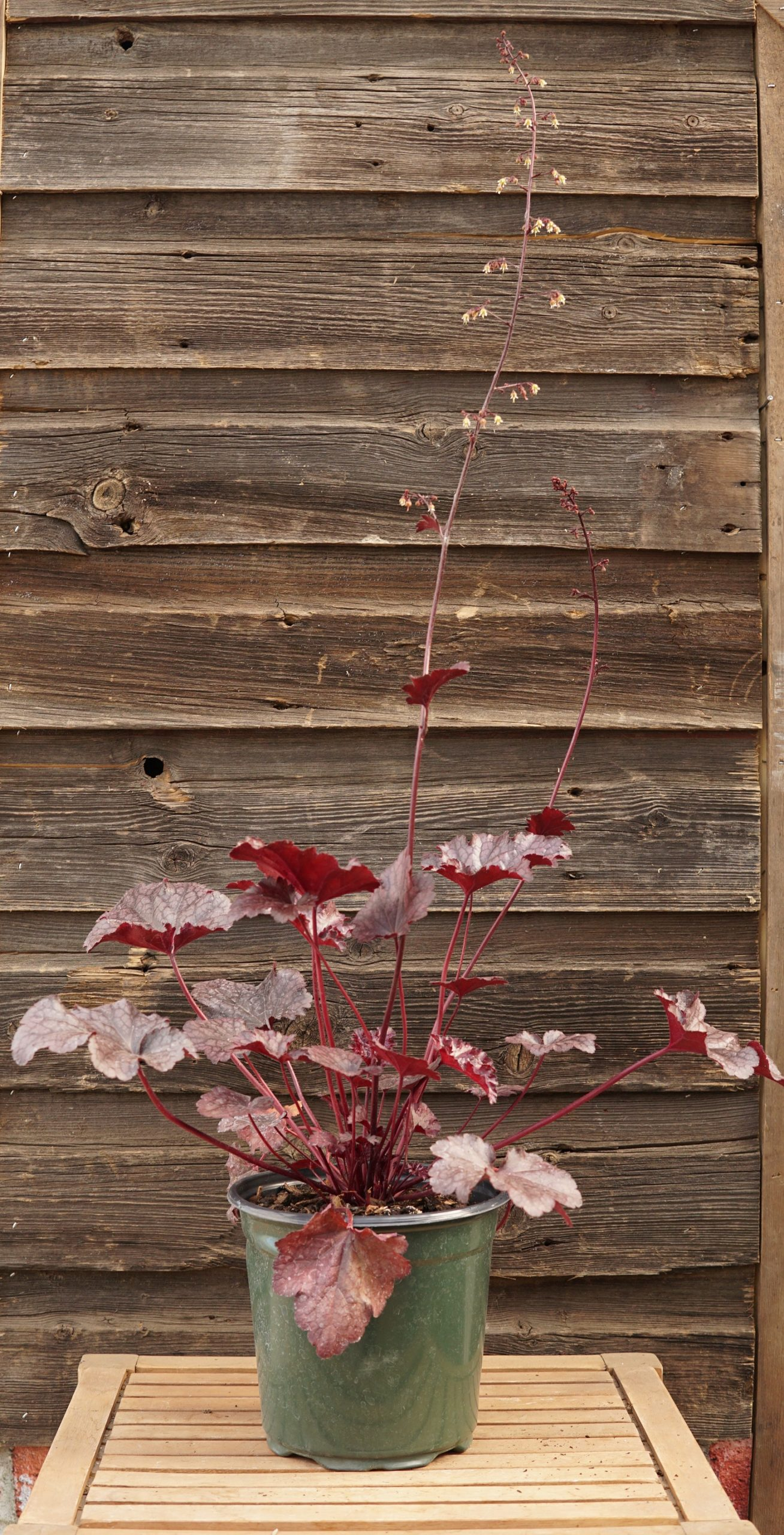 Plum Pudding coralbells overview