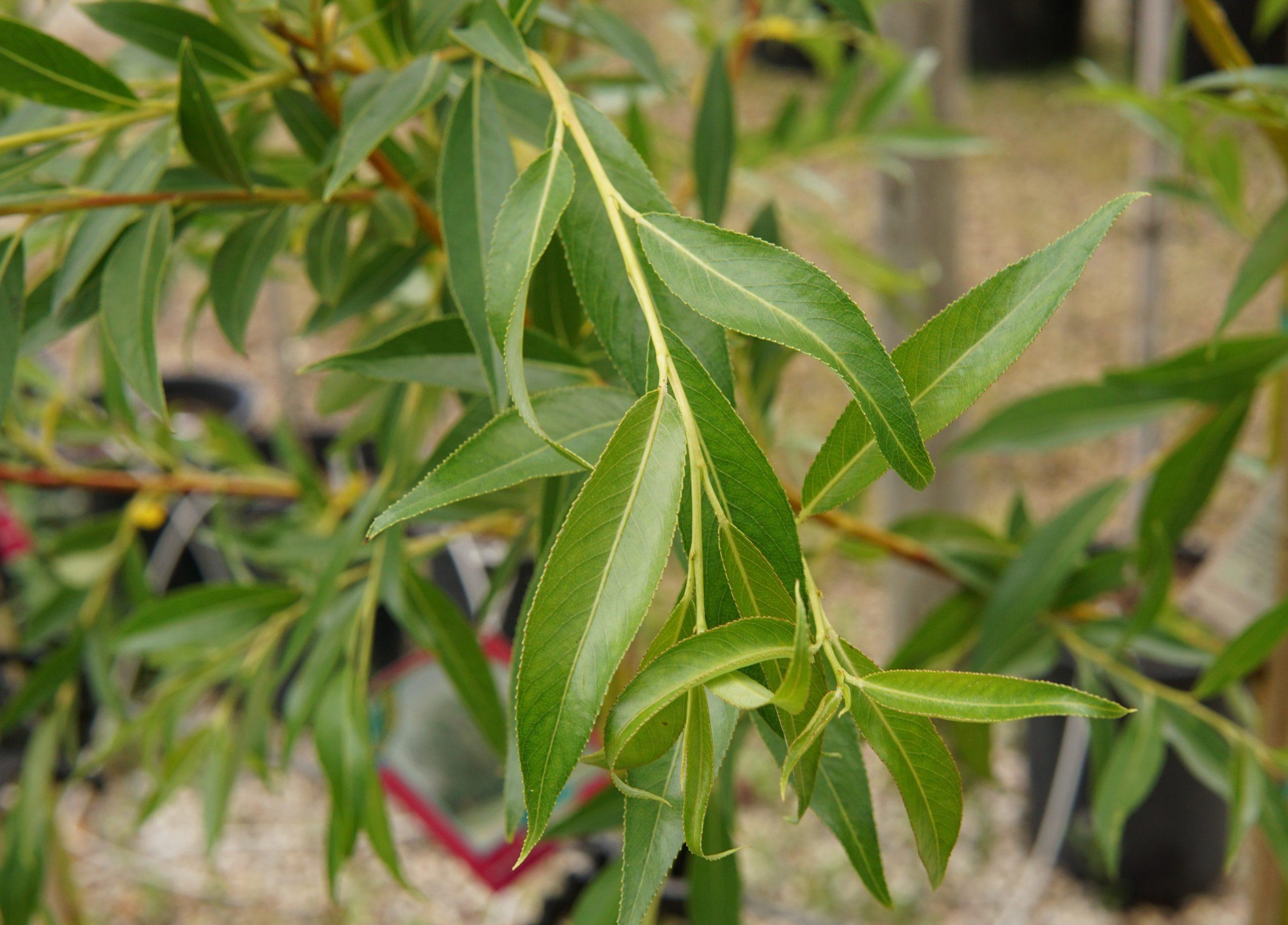 Prairie Cascade willow leaves