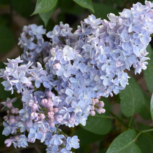 President Grevy Lilac Flower Close Up