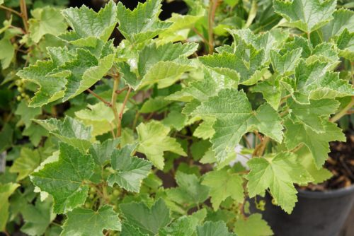 Red Lake Currant leaves
