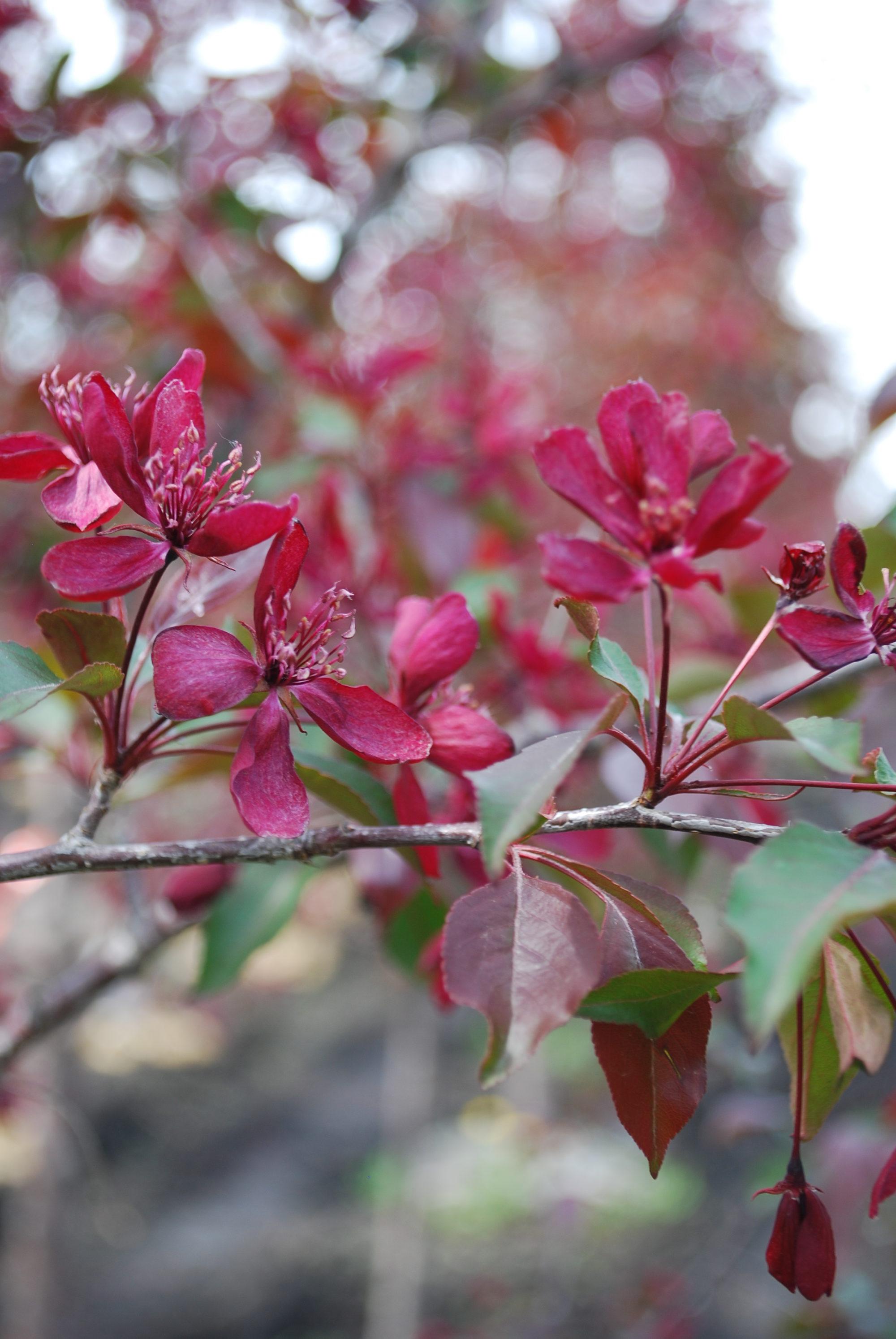 Royaltly Crabapple Flower Close Up