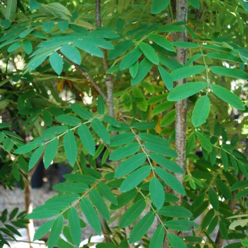 Russian Mountain Ash Foliage Close Up